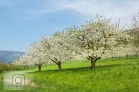 Kirschblüte 2015 - Frühling im Eggenertal / Markgräflerland